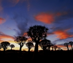 Quivertrees-at-dawn,-Namibia