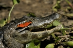Butterfly-and-caiman-in-Pantanal