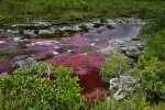 Cano-cristales-river-covered-by-red-aquatic-plant