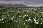 Cotton-grass-field-in-Djúpivogur-Fjord-Iceland