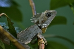 Australian-water-dragon-Daintree-Queensland