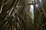Cathedral-Fig-tree-Queensland-Australie