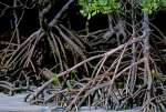 Root-stillts-of-the-mangrove-Australia