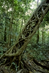 Fig-trees-Daintree-Rainforest-Australia