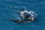 Southern-Right-Whale-Great-australian-Bight
