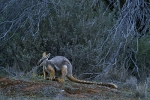 Yellow-footed-rock-wallaby-Australia